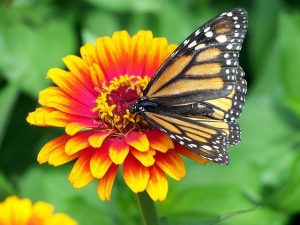 monarch butterfly on an orange and yellow zinnia